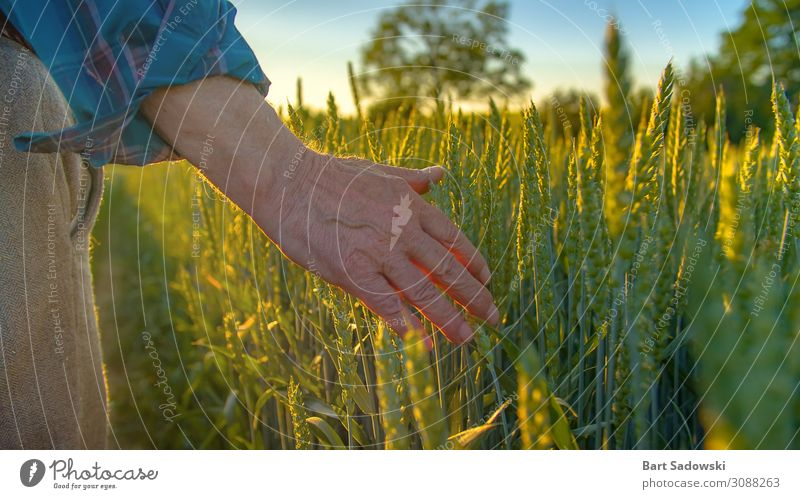 Farmer checking young crop Grain Nutrition Lifestyle Healthy Eating Freedom Summer Industry Gastronomy Man Adults Male senior Hand 1 Human being