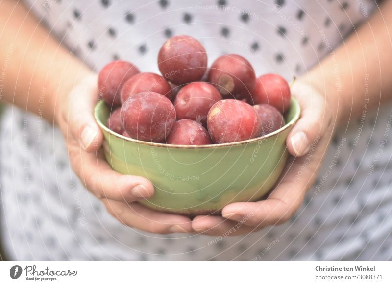 Female hands holding a green bowl with red plums Food fruit Plum Nutrition Bowl Feminine Woman Adults by hand Fingers 1 Human being 45 - 60 years To hold on