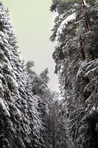 Nature Tree Relaxation Loneliness Calm Forest Winter Environment Cold Snow Leisure and hobbies Dream Gigantic Winter vacation