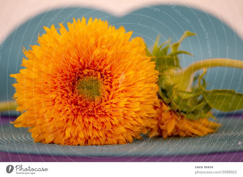 Sunflower Teddy Bear Decoration Plant Blossom Blossoming Happiness Yellow Orange Turquoise Joie de vivre (Vitality) Colour Wellness Colour photo Multicoloured