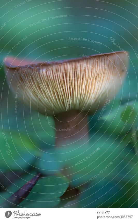 slats Environment Nature Plant Wild plant Mushroom cap Slat blinds Forest Growth Brown Green Autumn Colour photo Exterior shot Macro (Extreme close-up) Deserted