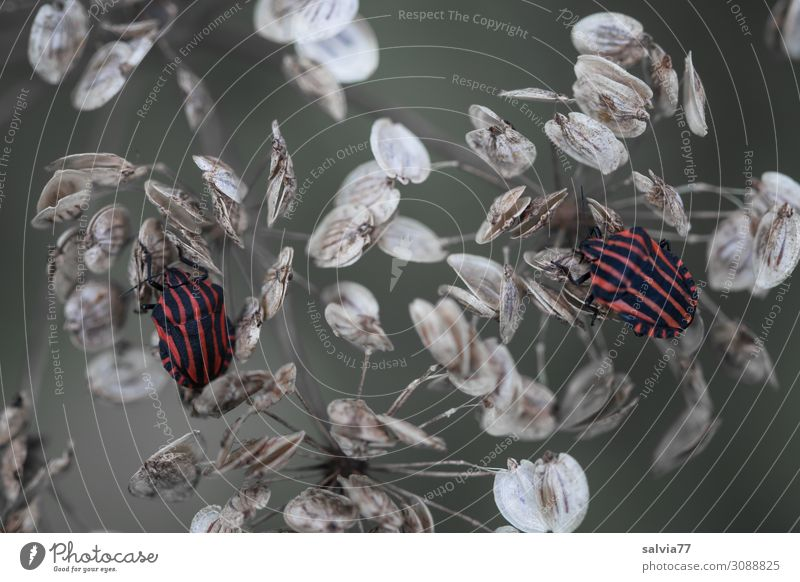 two bugs Environment Nature Animal Plant Blossom Seed hogweed Meadow Field Wild animal Beetle Bug Insect striped bug 2 Crawl Perspective Transience Change