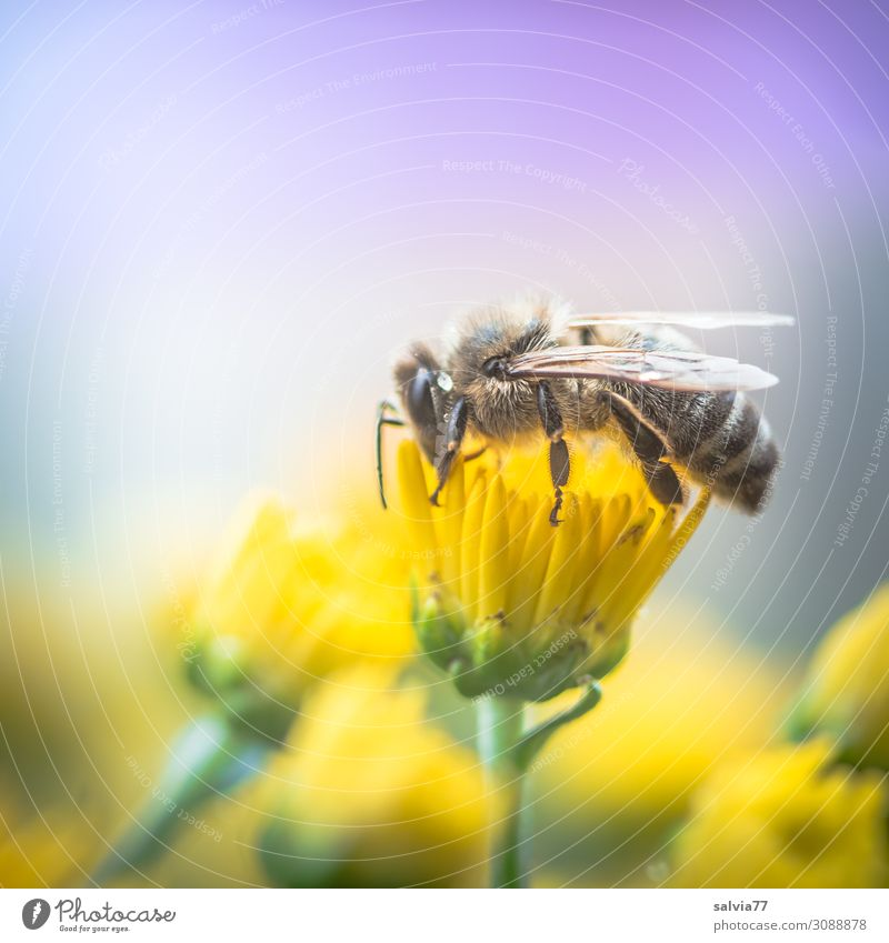 valuable | Honey Bee Environment Nature Plant Animal Summer Autumn Flower Blossom Pot plant Chrysanthemum Garden Farm animal Wing Insect Working man Honey bee 1