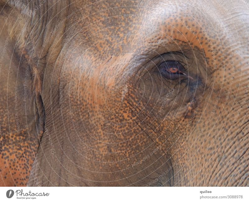 elephant eye Nature Animal Wild animal Elephant Elephant skin Elephant eye 1 Fat Glittering Large Curiosity Brown Sadness Concern Fear Colour photo