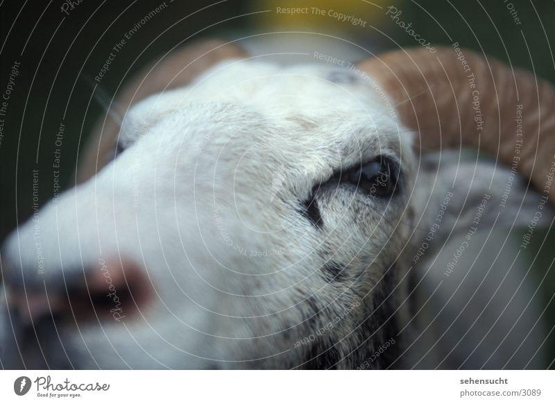 Nose Sheep Antlers Pet Wool