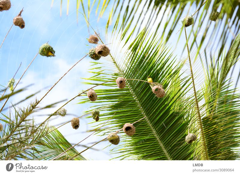 Weaver birds in palm trees weaver bird Nest bird's nest Tall Worm's-eye view upstairs Sky Sky blue Palm tree Palm frond Mauritius Animal vacation Tropical