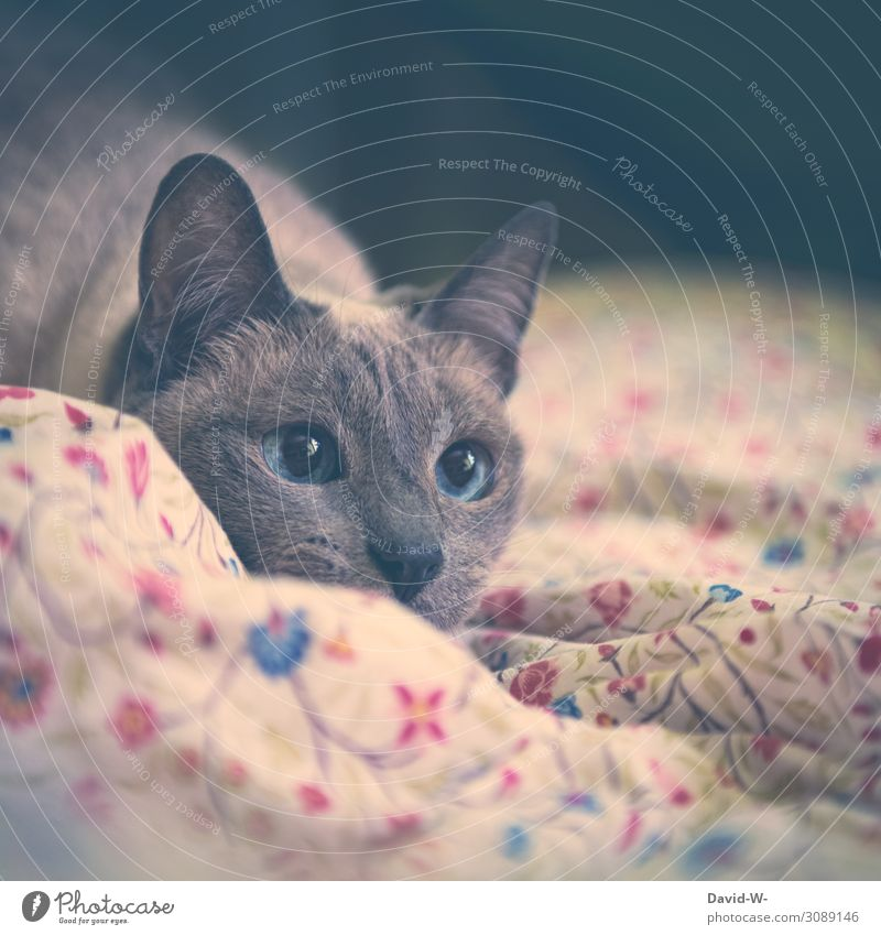 observantly Art Painting and drawing (object) Animal Pet Cat Animal face Pelt 1 Observe Soft Sapphire Blue Large Eyes Beautiful Thailand Siamese cat Illuminate