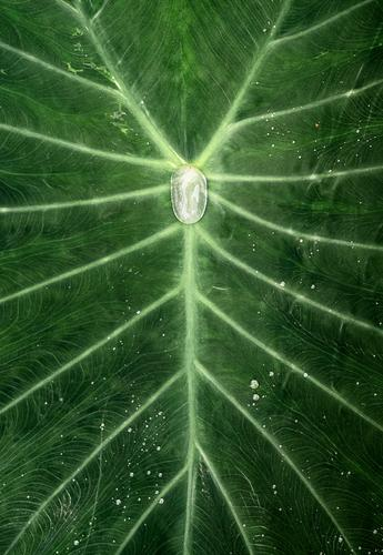 Water Droplet in the Middle of a Plant Green Symmetry Drops of water Leaf Plantlet Veins Minimal