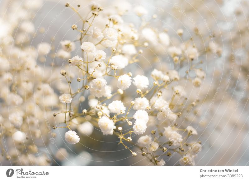 gypsophila Plant Flower Blossom Baby's-breath Esthetic Elegant Happiness Bright Beautiful Small Near Natural Blue Gray White Moody Joie de vivre (Vitality)