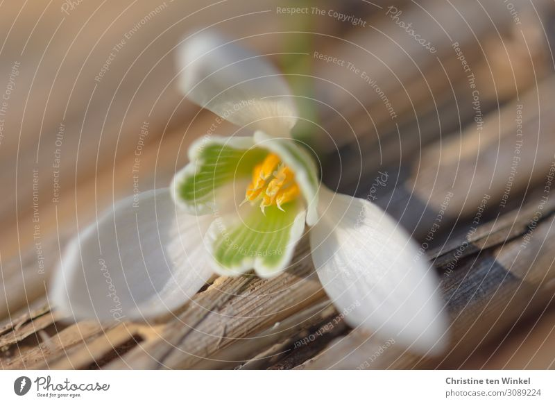 Snowdrops blossom lies on a wooden base Nature Plant Flower Blossom Lie Esthetic Elegant Bright Beautiful Small Brown Yellow Green White Happy