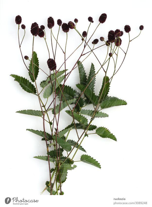 Big, Meadow Button, Bibernilla, Sanguisorba Herbs and spices Alternative medicine Medication Nature Plant Wild plant Large Burnet beaver nella sanguisorba major