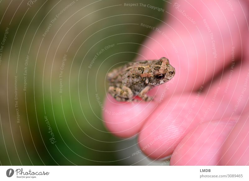 Little Chamber Wheel Frog Painted frog Small Miniature mini Diminutive Dwarf Animal child Speckled Captured Calm Caught temporising Nature animal baby Amphibian