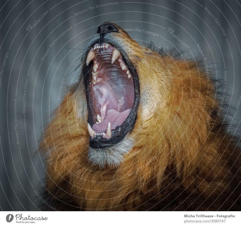 Yawning Lion Nature Animal Sunlight Wild animal Animal face Pelt Lion's mane Head Muzzle Set of teeth Tongue Jaw 1 Relaxation Sleep Threat Gigantic Near Yellow