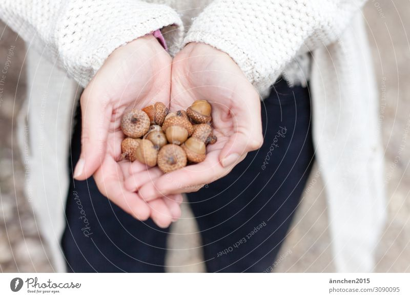 Nature Hand Autumn Brown Fruit Bright To hold on Hat Handicraft Accumulate Acorn