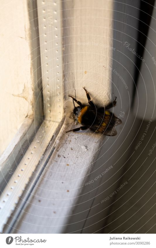 Bumblebee at the window Environment Animal Spring Summer Bumble bee Insect 1 Window Window pane Environmental protection Soft Spider's web Legs Wing Stripe