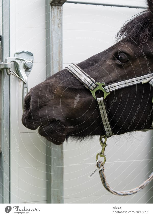 Head of an Icelandic horse Sports Ride Trailer Animal Farm animal Horse Animal face Pelt Iceland Pony Icelander 1 Halter carbine Observe Touch Movement
