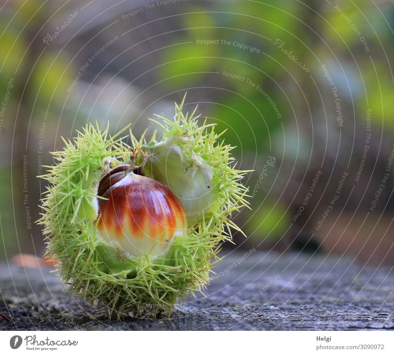 almost ripe sweet chestnut lies in the opened spiny shell on a tree trunk in the forest Environment Nature Plant Autumn Sheath Sweet chestnut Forest Lie