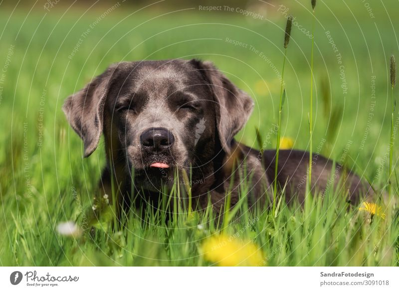 Labrador Retriever read in the grass Joy Summer Garden Family & Relations Nature Meadow Animal Pet Dog 1 Baby animal Observe Feeding Walking Love Playing Jump