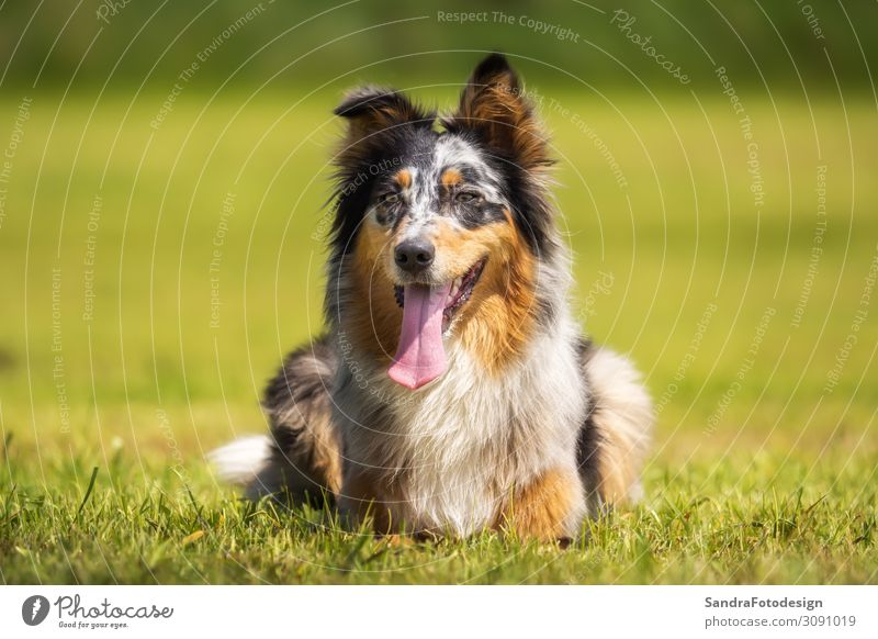 Australian Shepherd lies on a green meadow Joy Summer Garden Family & Relations Nature Park Animal Pet Dog 1 Observe Playing Jump Green Loyal Love of animals