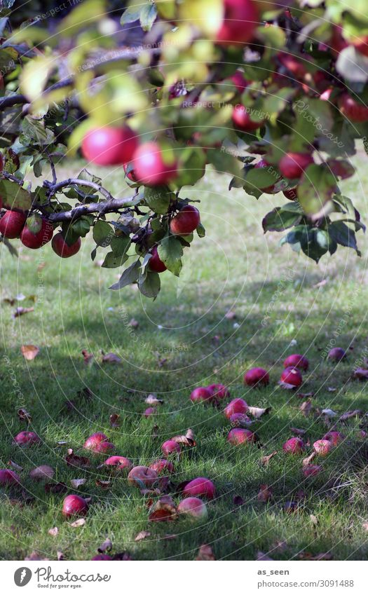 apple harvest Fruit Apple Organic produce Slow food Wellness Harmonious Contentment Garden Thanksgiving Environment Nature Plant Summer Autumn Beautiful weather