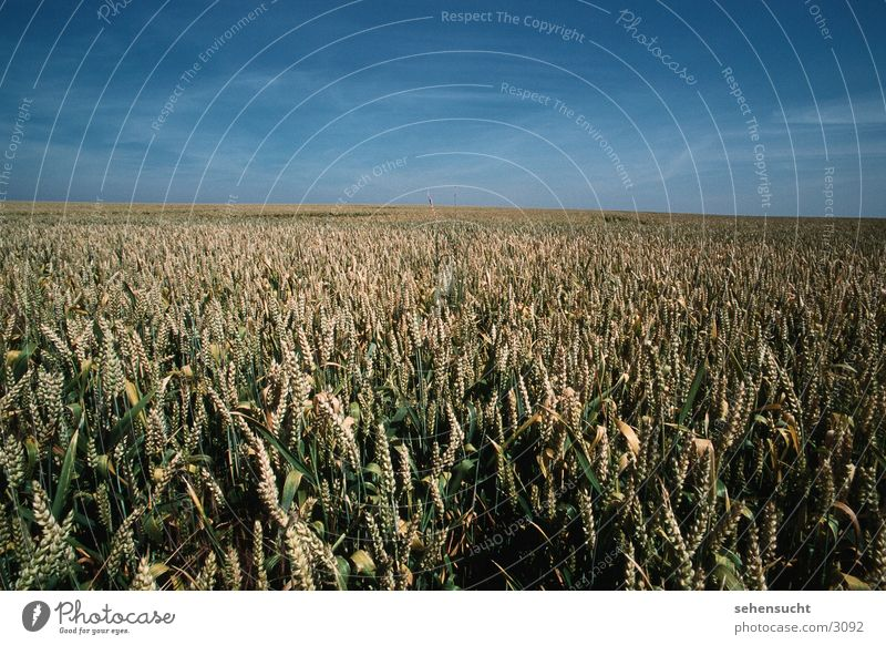 Sky Summer Landscape Field Agriculture Wheat Mecklenburg-Western Pomerania Wheatfield