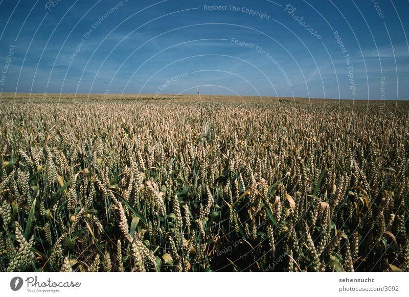wheat field Wheatfield Summer Agriculture Field Mecklenburg-Western Pomerania Sky Landscape