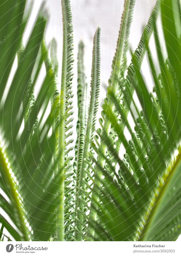 Palm Palm leaf Growth Nature Animal Spring Summer Autumn Winter Plant Tree Leaf Exotic Green White Palm tree Palm frond Leaf canopy Climate Colour photo