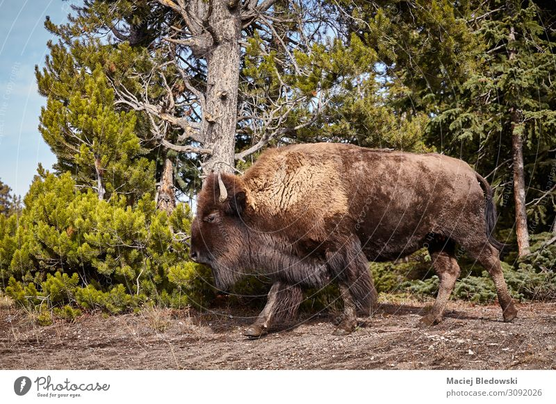 American bison cow in Yellowstone National Park, USA. Adventure Safari Expedition Nature Animal Forest Wild animal 1 Aggression Bison wildlife Wyoming untamed