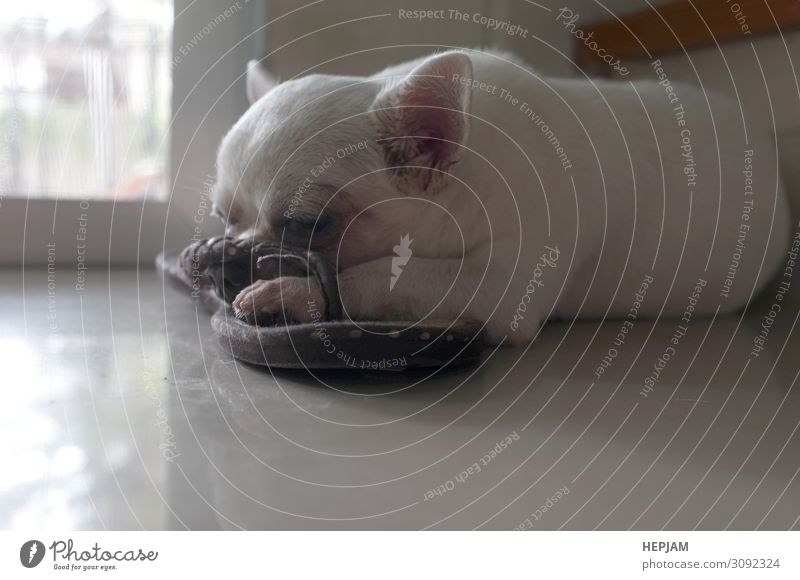 Dog sleeping on the floor . cute dog Beautiful Face Sun House (Residential Structure) Friendship Nature Animal Fur coat Pet Wait Small Cute White Concern