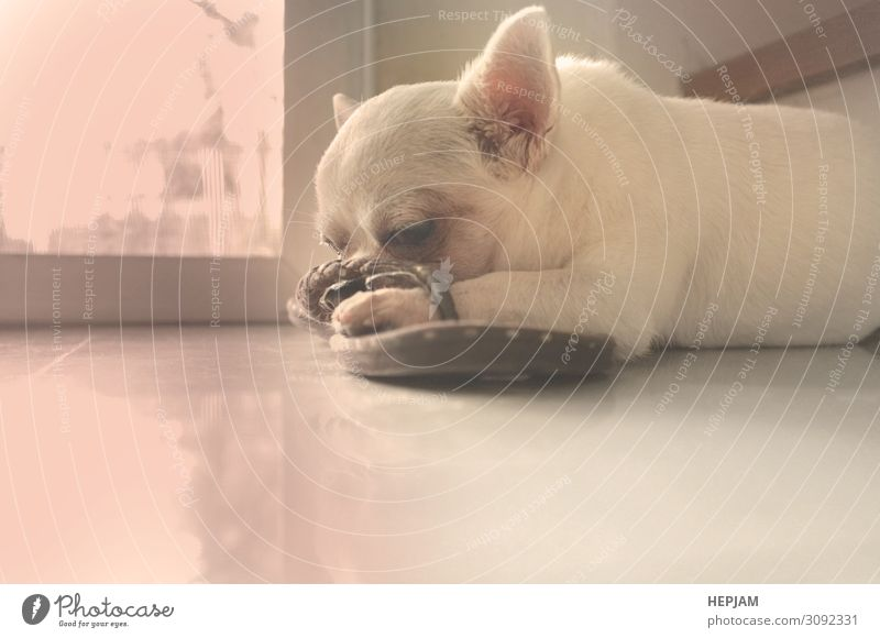 Dog sleeping on the floor , cute dog Beautiful Face Sun House (Residential Structure) Friendship Nature Animal Fur coat Pet Wait Small Cute White Concern