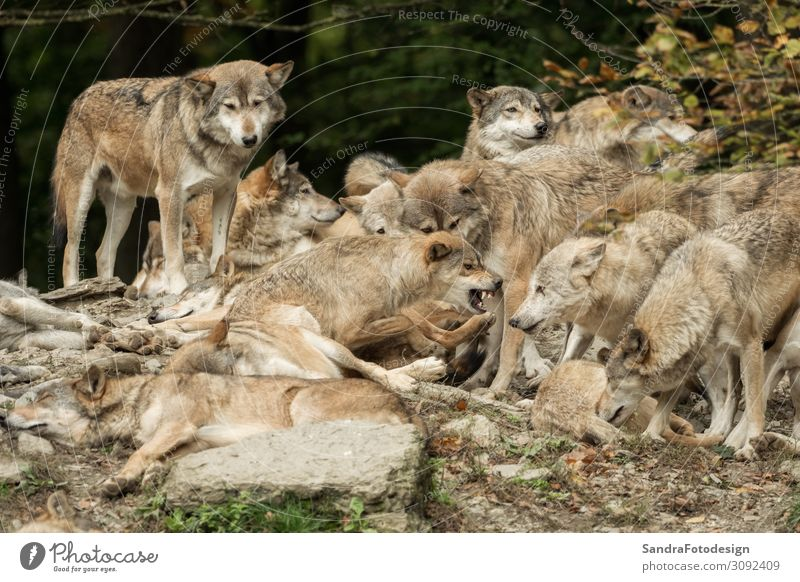 A pack of wolves on a rock Nature Park Animal Wild animal Pelt Zoo Group of animals Observe To feed Playing Power Love of animals Life Wolf Packing material