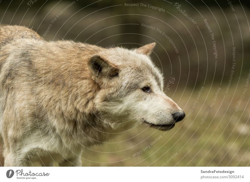 A wolf walks around mindfully Vacation & Travel Winter Nature Park Forest Animal Wild animal Pelt 1 Observe Hunting Strong Freedom mammal grey predator Wolf