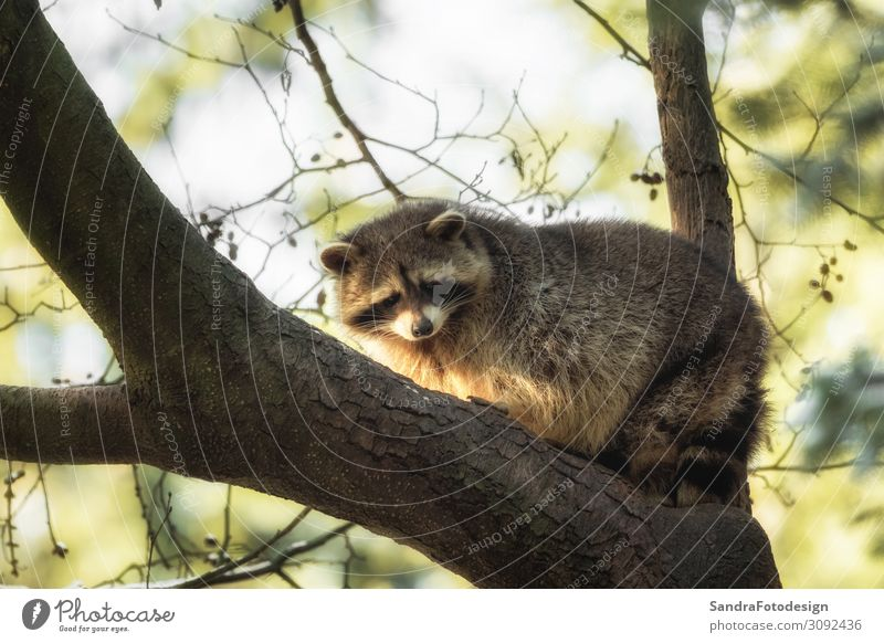 A raccoon on a tree Summer Nature Park Animal Wild animal Pelt 1 Observe Jump Love of animals wildlife mammal mask cute species leaves For adorable forest