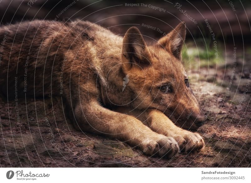 Young wolf on the floor, looks into the camera Nature Park Animal Dog 1 Observe Attentive Wolf canine fart wildlife mammal environment cute Carnivore blue eyes