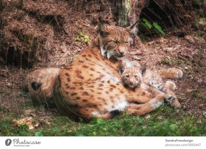 Lynx family lies in the grass Contentment Trip Summer Family & Relations Zoo Nature Animal Wild animal Pelt Animal family Observe Feeding Lie Looking Speed Soft