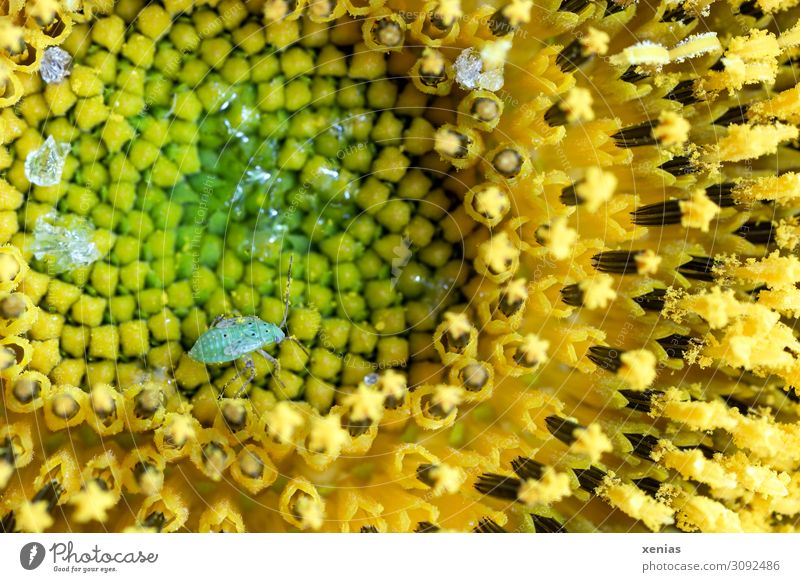 Green aphid walks over yellow sunflower Sunflower Greenfly Summer Autumn Flower Blossom Garden Field Animal Wild animal Insect Isopod Small Brown Yellow