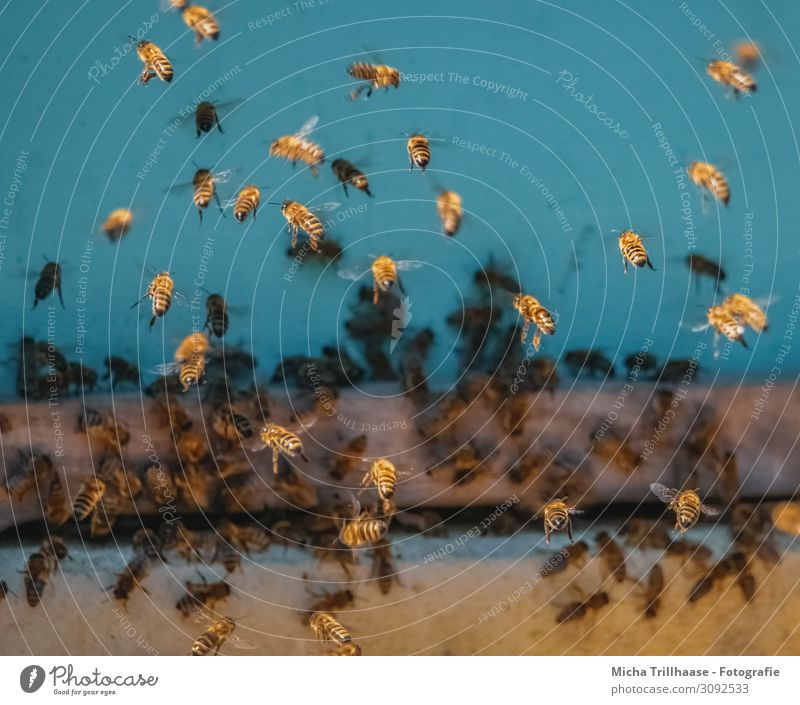 Bees at the beehive Food Honey Nutrition Nature Animal Sunlight Beautiful weather Farm animal Animal face Wing Honey bee Insect bee colony Flock Flying Near