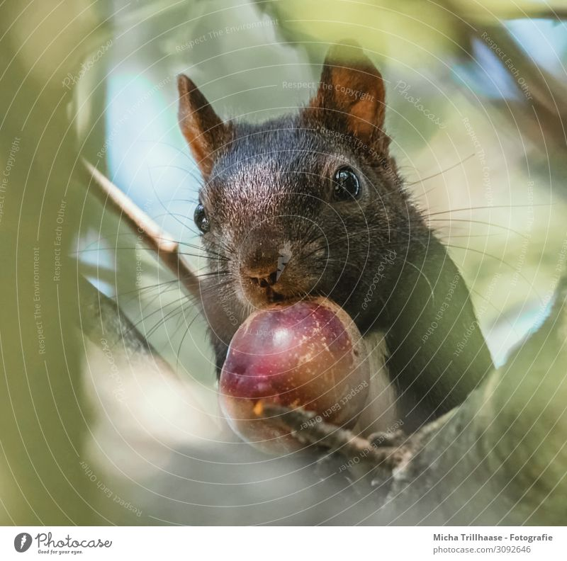 Squirrel with nut in mouth Nature Animal Sky Sunlight Beautiful weather Tree Leaf Twigs and branches Wild animal Animal face Pelt Head Eyes Nose Muzzle Ear 1