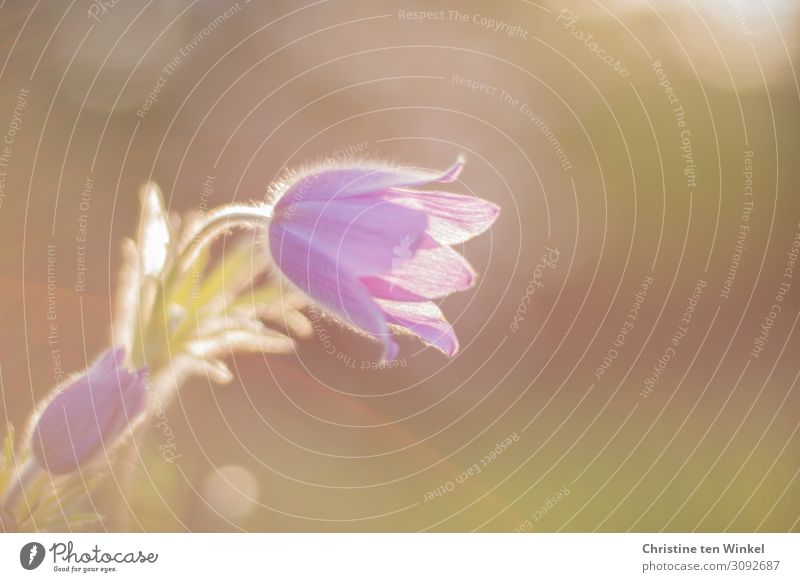 Blossom and stem of a pasque flower against a blurred background Nature Plant Flower Anemone spring bloomers Herbaceous plants Esthetic Elegant Friendliness