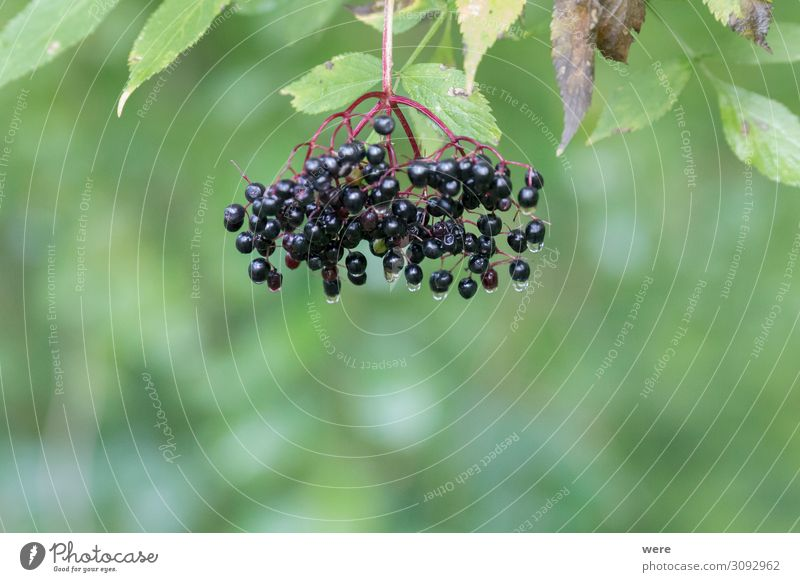 Bucket of ripe elderberries after a rain on the bush Food Nutrition Organic produce Vegetarian diet Nature To enjoy Exotic Healthy Positive branches bucket