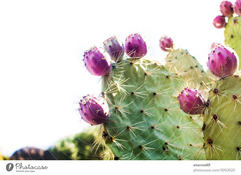 Prickly pear cactus with fruit isolated on white background Prickle Cactus Fruit Plant Red Purple Green Blossom Flower Botany Close-up Exotic Tropical Vegetable