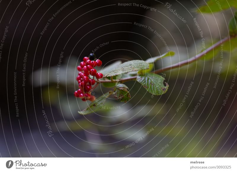 red berries on the branch Nature Summer Beautiful weather Plant Bushes Leaf Blossom Wild plant Berries Seed head Fruit flesh Forest buried Poison Middle