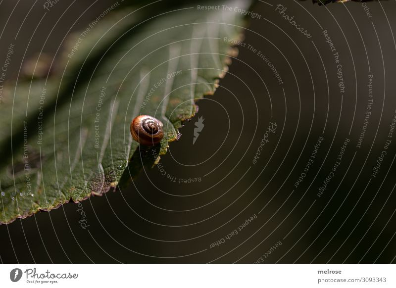 Snail hangs on leaf Nature Summer Beautiful weather Plant Bushes Leaf Foliage plant Garden Snail shell 1 Animal Perspective Suspended Relaxation Hang Dark