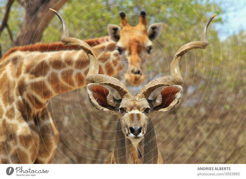 Kudu Bull and Giraffe - Photobombing Nature Vacation & Travel Tourism Adventure Freedom Sightseeing Safari Expedition Summer vacation Sun Environment Animal