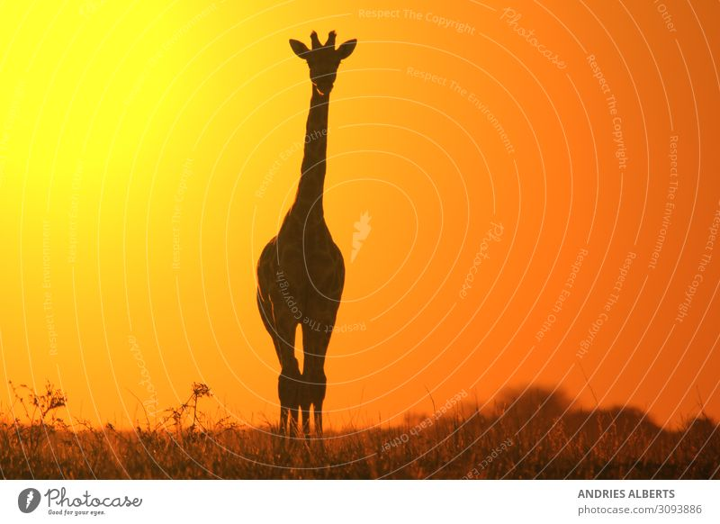 Giraffe Silhouette - Simplistic Gold Sky Vacation & Travel Nature Summer Beautiful Landscape Animal Black Yellow Environment Tourism Freedom Orange Horizon Park