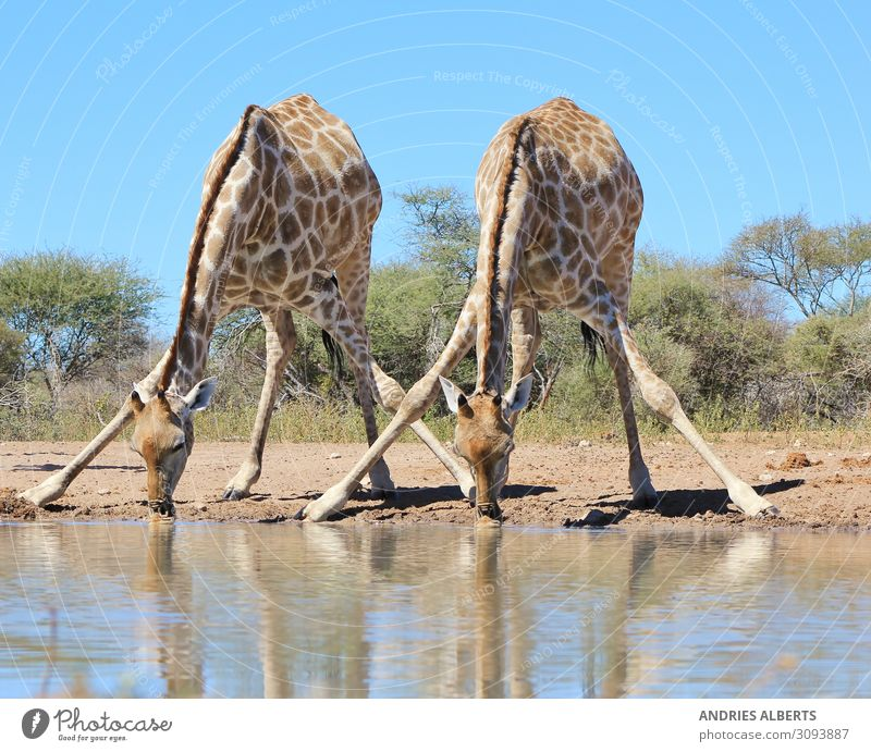 Giraffe - Splitting for Sips Vacation & Travel Nature Summer Blue Water Animal Calm Environment Tourism Orange Trip Contentment Park Elegant Wild animal Stand