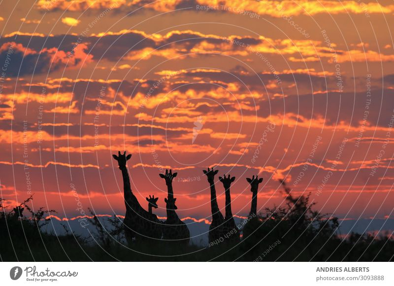 Giraffe - Magical Skies of Africa Sky Nature Summer Blue Landscape Red Clouds Animal Black Yellow Environment Orange Earth Gold Elegant