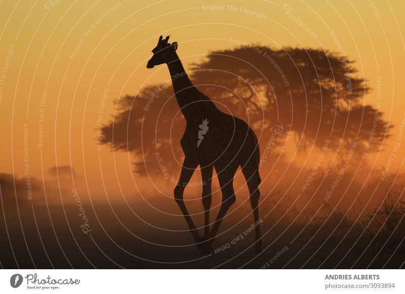 Giraffe Grace - Walk through faded gold Vacation & Travel Tourism Trip Adventure Freedom Sightseeing Safari Environment Nature Animal Sunrise Sunset Summer
