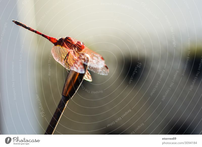 Macro dragonfly animal. Copy space. Dragonfly Animal Insect Macro (Extreme close-up) Red Colour Neutral Background Summer wing Close-up fauna