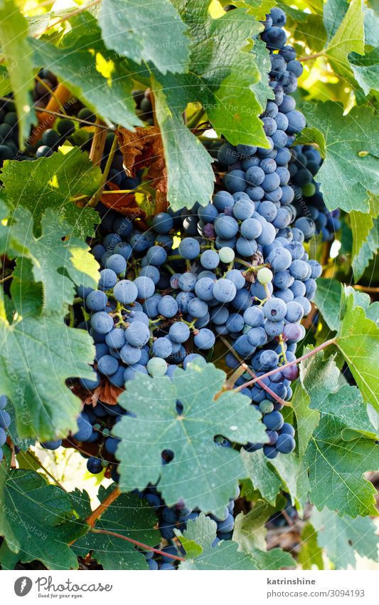 Purple grapes on a plant Green Landscape Fruit Italy Seasons Violet Harvest Mature Agriculture Rural Bunch of grapes Vineyard Apulia Winery